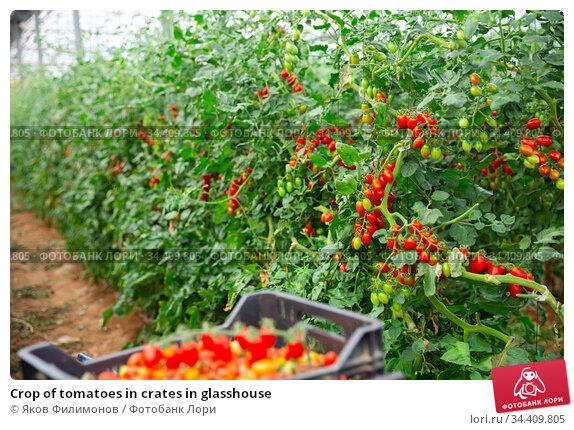Crop of tomatoes in crates in glasshouse. Стоковое фото, фотограф Яков Филимонов / Фотобанк Лори