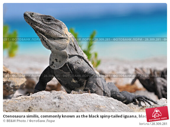 Купить «Ctenosaura similis, commonly known as the black spiny-tailed iguana, black iguana, or black ctenosaur, is a lizard native to Mexico and Central America. Tulum Mexico.», фото № 28309281, снято 12 декабря 2019 г. (c) BE&W Photo / Фотобанк Лори
