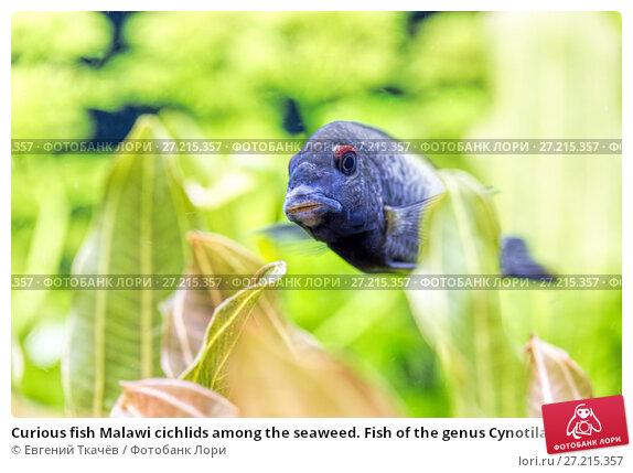 Купить «Curious fish Malawi cichlids among the seaweed. Fish of the genus Cynotilapia», фото № 27215357, снято 18 апреля 2016 г. (c) Евгений Ткачёв / Фотобанк Лори