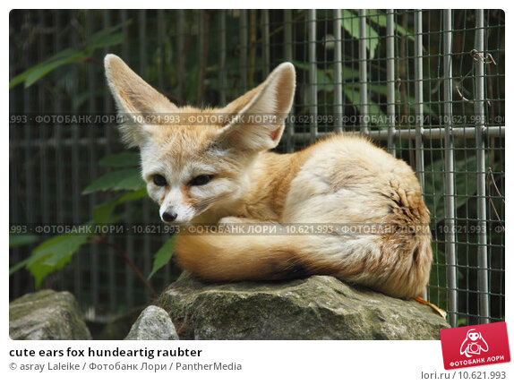 cute ears fox hundeartig raubter. Стоковое фото, фотограф asray Laleike / PantherMedia / Фотобанк Лори