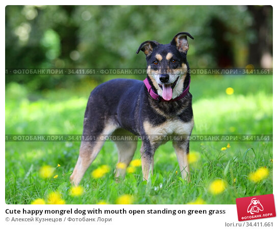 Cute happy mongrel dog with mouth open standing on green grass. Стоковое фото, фотограф Алексей Кузнецов / Фотобанк Лори