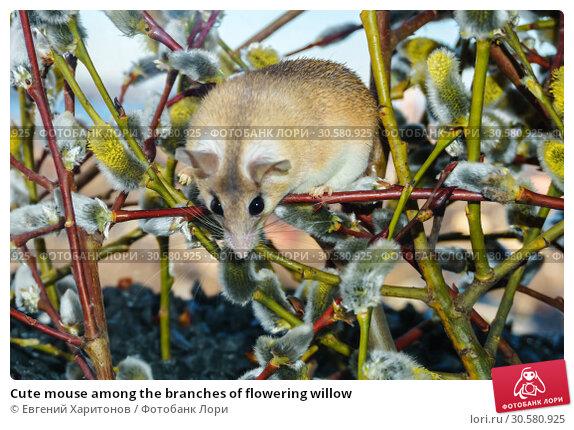 Купить «Cute mouse among the branches of flowering willow», фото № 30580925, снято 14 апреля 2019 г. (c) Евгений Харитонов / Фотобанк Лори