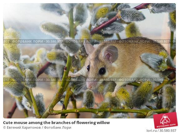Купить «Cute mouse among the branches of flowering willow», фото № 30580937, снято 14 апреля 2019 г. (c) Евгений Харитонов / Фотобанк Лори