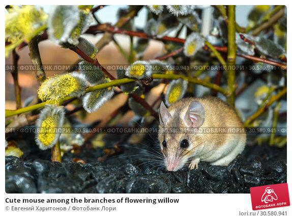 Купить «Cute mouse among the branches of flowering willow», фото № 30580941, снято 14 апреля 2019 г. (c) Евгений Харитонов / Фотобанк Лори