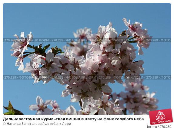 Дальневосточная курильская вишня в цвету на фоне голубого неба, фото № 270289, снято 2 мая 2008 г. (c) Наталья Белотелова / Фотобанк Лори