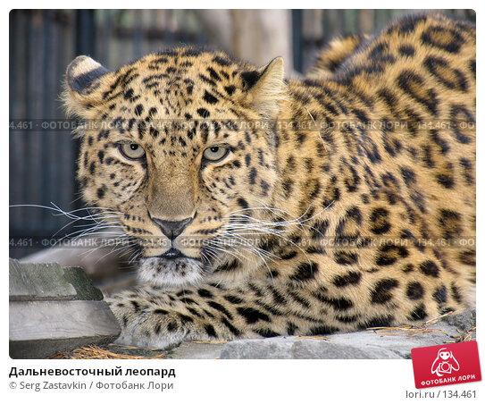 Дальневосточный леопард, фото № 134461, снято 10 октября 2004 г. (c) Serg Zastavkin / Фотобанк Лори