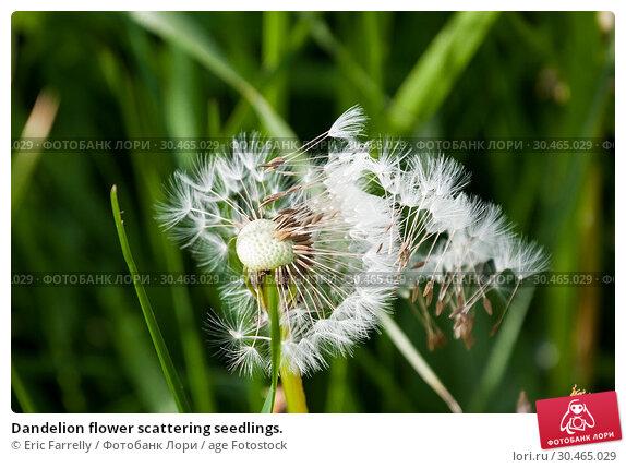 Dandelion flower scattering seedlings. Стоковое фото, фотограф Eric Farrelly / age Fotostock / Фотобанк Лори