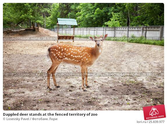 Купить «Dappled deer stands at the fenced territory of zoo», фото № 25839977, снято 30 мая 2015 г. (c) Losevsky Pavel / Фотобанк Лори