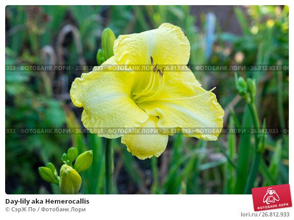 Купить «Day-lily aka Hemerocallis», фото № 26812933, снято 14 августа 2017 г. (c) СэрЖ По / Фотобанк Лори