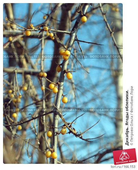 Декабрь. Ягоды облепихи., фото № 166153, снято 31 декабря 2007 г. (c) Петрова Ольга / Фотобанк Лори