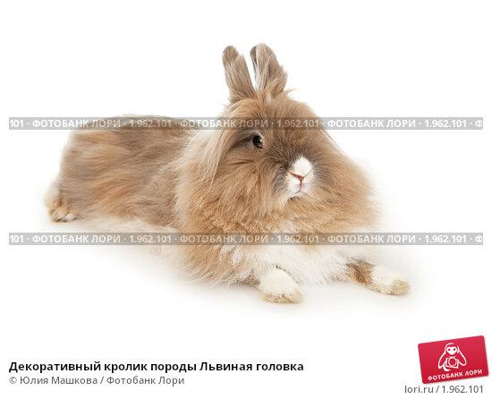 Декоративный кролик породы Львиная головка, фото № 1962101, снято 8 сентября 2010 г. (c) Юлия Машкова / Фотобанк Лори