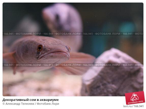 Декоративный сом в аквариуме, фото № 166941, снято 7 апреля 2007 г. (c) Александр Телеснюк / Фотобанк Лори