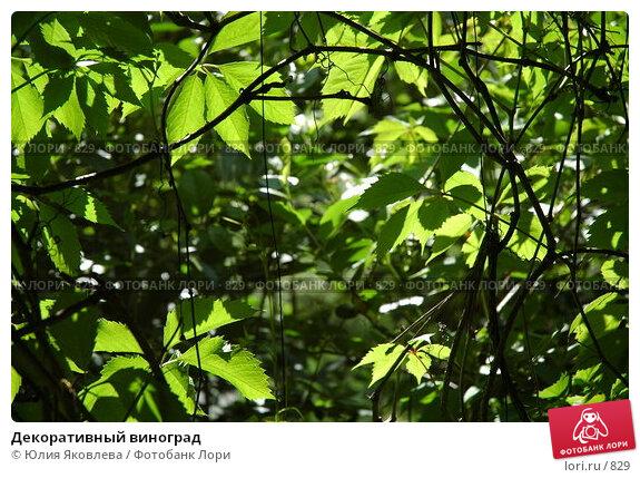 Декоративный виноград, фото № 829, снято 3 июня 2005 г. (c) Юлия Яковлева / Фотобанк Лори