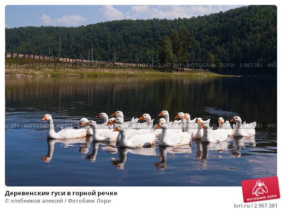 Купить «Деревенские гуси в горной речке», фото № 2967381, снято 24 июля 2011 г. (c) хлебников алексей / Фотобанк Лори