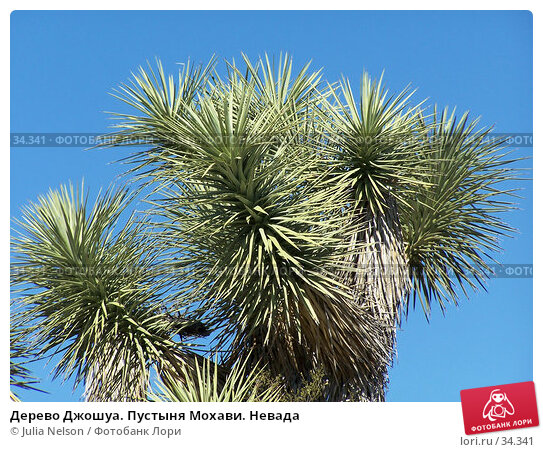 Дерево Джошуа. Пустыня Мохави. Невада, фото № 34341, снято 22 февраля 2007 г. (c) Julia Nelson / Фотобанк Лори