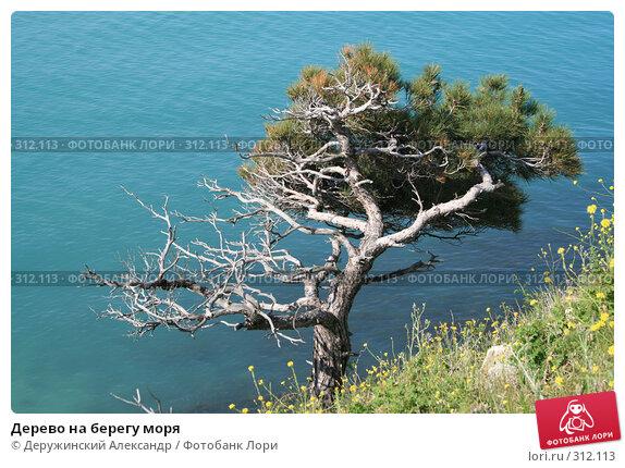 Дерево на берегу моря, фото № 312113, снято 15 мая 2008 г. (c) Деружинский Александр / Фотобанк Лори