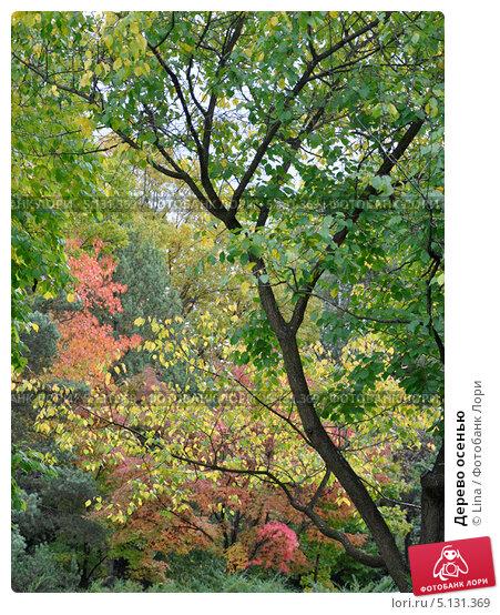 Дерево осенью. Стоковое фото, фотограф Lina / Фотобанк Лори