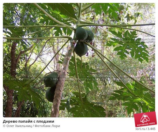 Дерево папайя с плодами, фото № 3445, снято 8 мая 2005 г. (c) Олег Хмельниц / Фотобанк Лори