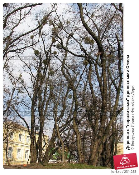 """Деревья с """"паразитами"""" древесными Омела, эксклюзивное фото № 231253, снято 15 марта 2008 г. (c) Безрукова Ирина / Фотобанк Лори"""