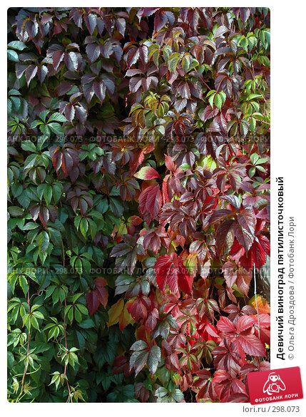 Девичий виноград пятилисточковый, фото № 298073, снято 28 сентября 2005 г. (c) Ольга Дроздова / Фотобанк Лори