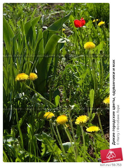 Дикие городские цветы, одуванчики и мак, фото № 59753, снято 23 июня 2005 г. (c) Harry / Фотобанк Лори