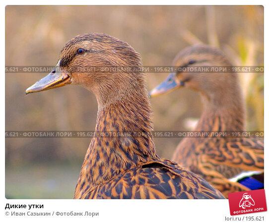 Купить «Дикие утки», фото № 195621, снято 13 ноября 2004 г. (c) Иван Сазыкин / Фотобанк Лори
