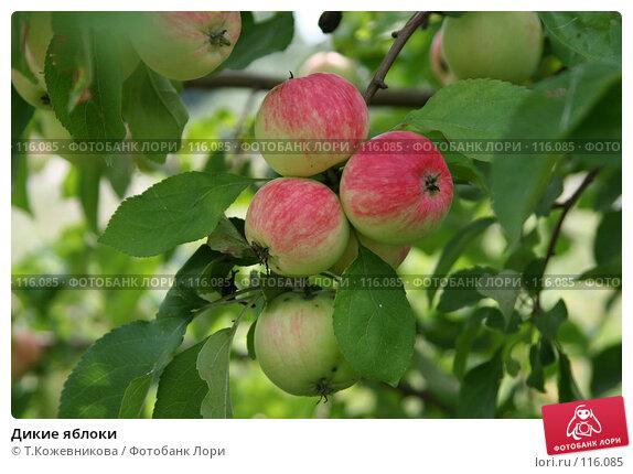 Дикие яблоки, фото № 116085, снято 3 августа 2007 г. (c) Т.Кожевникова / Фотобанк Лори