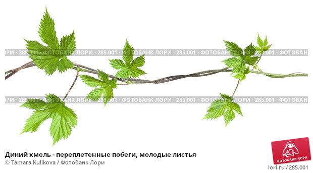 Дикий хмель - переплетенные побеги, молодые листья, фото № 285001, снято 13 мая 2008 г. (c) Tamara Kulikova / Фотобанк Лори