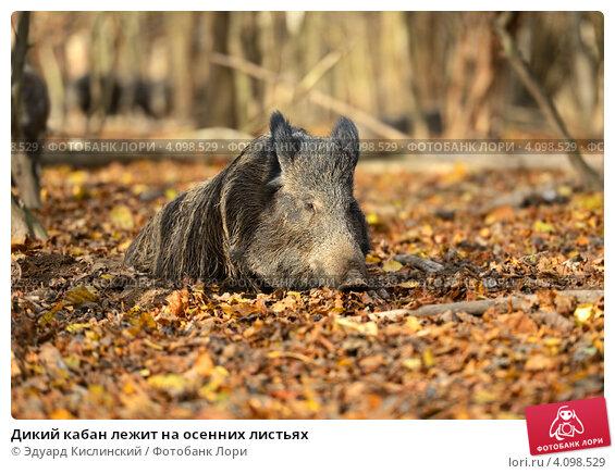 Купить «Дикий кабан лежит на осенних листьях», фото № 4098529, снято 4 ноября 2012 г. (c) Эдуард Кислинский / Фотобанк Лори