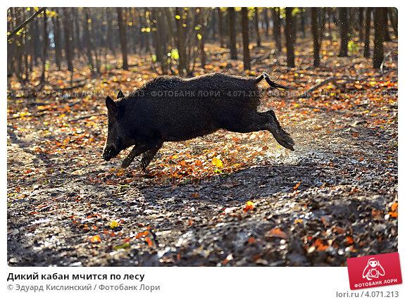 Купить «Дикий кабан мчится по лесу», фото № 4071213, снято 4 ноября 2012 г. (c) Эдуард Кислинский / Фотобанк Лори
