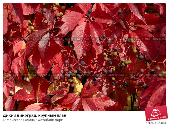 Дикий виноград, крупный план, фото № 98061, снято 29 сентября 2007 г. (c) Моисеева Галина / Фотобанк Лори