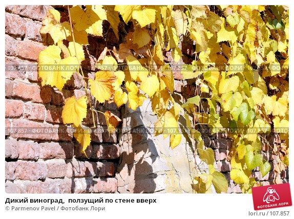 Дикий виноград,  ползущий по стене вверх, фото № 107857, снято 25 октября 2007 г. (c) Parmenov Pavel / Фотобанк Лори