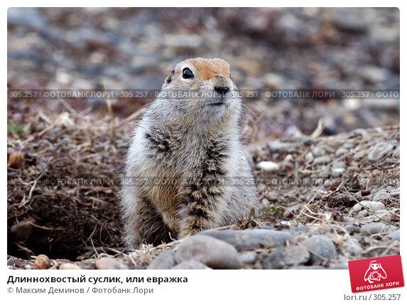 Длиннохвостый суслик, или евражка, фото № 305257, снято 28 мая 2008 г. (c) Максим Деминов / Фотобанк Лори