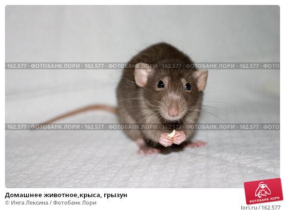Домашнее животное,крыса, грызун, фото № 162577, снято 11 мая 2007 г. (c) Инга Лексина / Фотобанк Лори