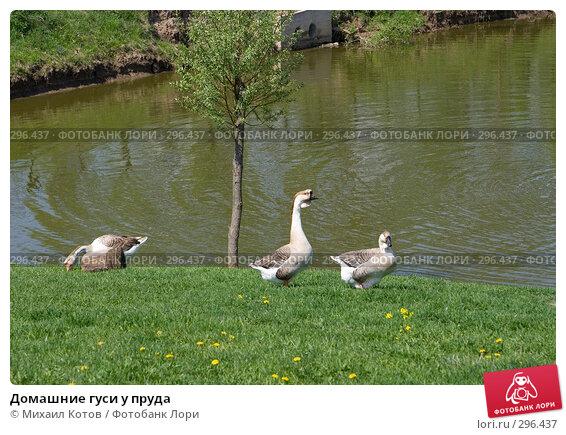 Домашние гуси у пруда, фото № 296437, снято 13 мая 2008 г. (c) Михаил Котов / Фотобанк Лори