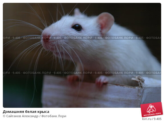 Домашняя белая крыса, фото № 9405, снято 14 января 2005 г. (c) Сайганов Александр / Фотобанк Лори