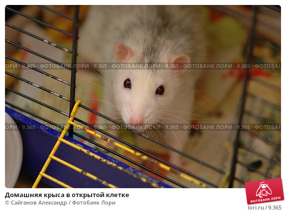 Домашняя крыса в открытой клетке, фото № 9365, снято 14 января 2005 г. (c) Сайганов Александр / Фотобанк Лори