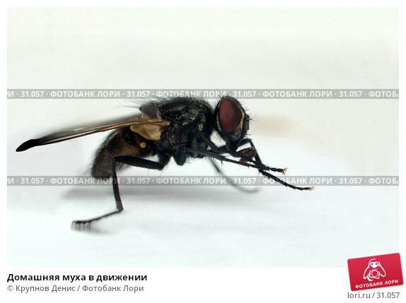 Купить «Домашняя муха в движении», фото № 31057, снято 20 декабря 2007 г. (c) Крупнов Денис / Фотобанк Лори
