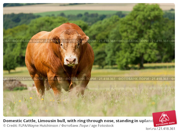 Domestic Cattle, Limousin bull, with ring through nose, standing in upland pasture, Cumbria, England, July. Стоковое фото, фотограф Credit: FLPA/Wayne Hutchinson / age Fotostock / Фотобанк Лори