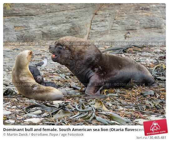 Dominant bull and female. South American sea lion (Otaria flavescens, formerly Otaria byronia), also called the Southern Sea Lion or Patagonian sea lion. South America, Falkland Islands. Стоковое фото, фотограф Martin Zwick / age Fotostock / Фотобанк Лори