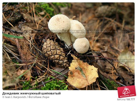 Купить «Дождевик жемчужный шиповатый», фото № 68777, снято 4 августа 2007 г. (c) Ivan I. Karpovich / Фотобанк Лори
