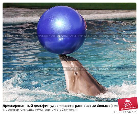 Купить «Дрессированный дельфин удерживает в равновесии большой мяч на кончике своего носа», фото № 7642181, снято 12 апреля 2015 г. (c) Светогор Александр Романович / Фотобанк Лори