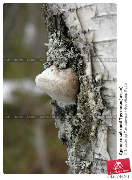 Древесный гриб Трутовик( язык), фото № 44041, снято 9 мая 2007 г. (c) Владимир Тимошенко / Фотобанк Лори