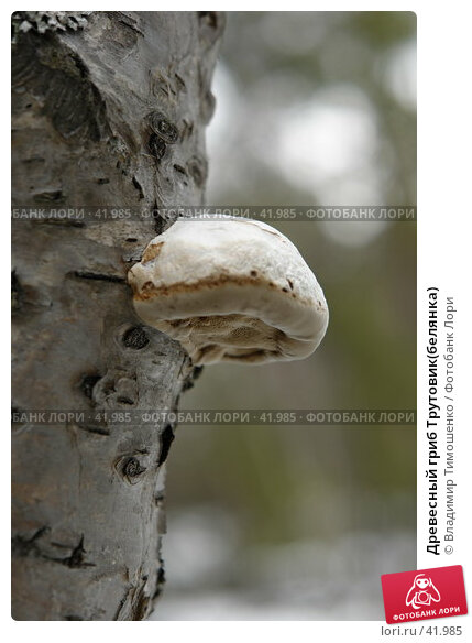 Древесный гриб Трутовик(белянка), фото № 41985, снято 9 мая 2007 г. (c) Владимир Тимошенко / Фотобанк Лори