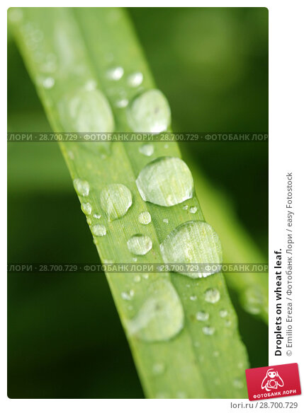 Купить «Droplets on wheat leaf.», фото № 28700729, снято 8 мая 2018 г. (c) easy Fotostock / Фотобанк Лори