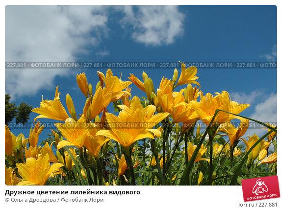Дружное цветение лилейника видового, фото № 227881, снято 11 июня 2005 г. (c) Ольга Дроздова / Фотобанк Лори