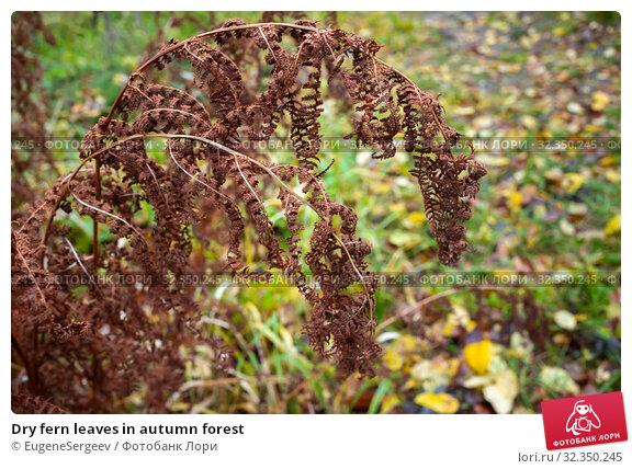 Купить «Dry fern leaves in autumn forest», фото № 32350245, снято 19 октября 2019 г. (c) EugeneSergeev / Фотобанк Лори