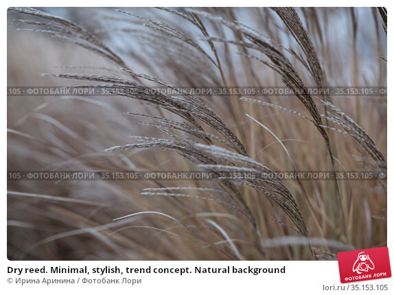 Dry reed. Minimal, stylish, trend concept. Natural background. Стоковое фото, фотограф Ирина Аринина / Фотобанк Лори
