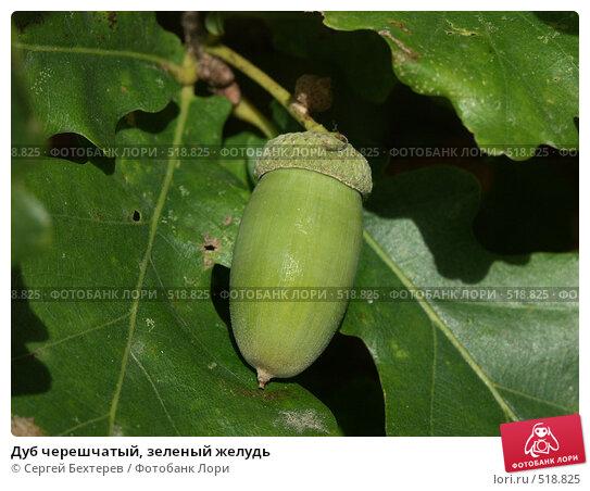 Купить «Дуб черешчатый, зеленый желудь», фото № 518825, снято 18 сентября 2004 г. (c) Сергей Бехтерев / Фотобанк Лори