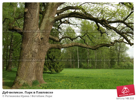 Купить «Дуб-великан. Парк в Павловске», фото № 48533, снято 20 мая 2007 г. (c) Ротманова Ирина / Фотобанк Лори